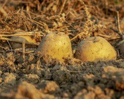 Comment planter ses propres pommes de terre
